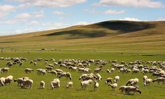 10.23酒糟养羊