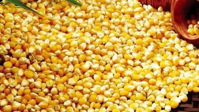 用玉米威廉希尔威廉希尔下载做酒,怎样才能将每粒玉米中的淀粉吃干榨净?