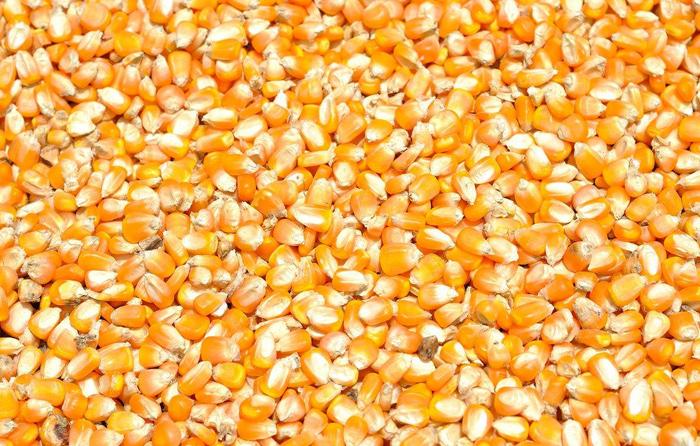 9.1颗粒玉米