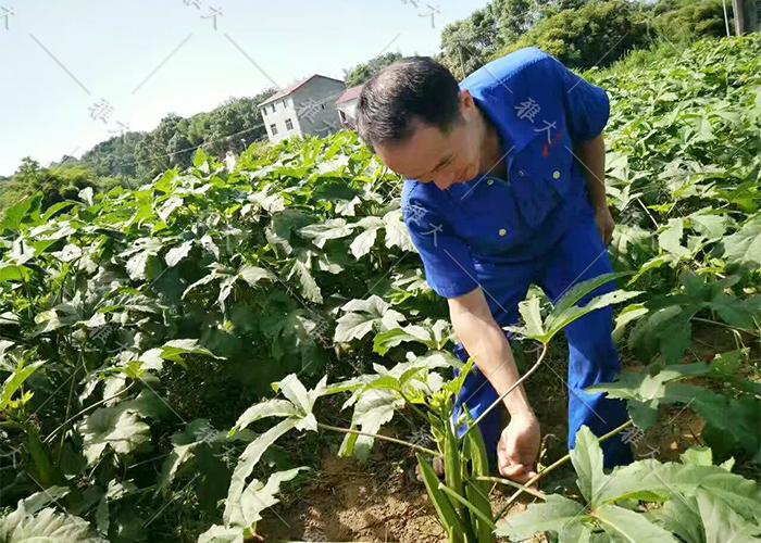 7.23黄秋葵酿酒技术—采摘