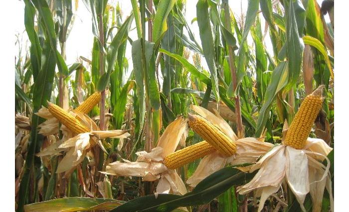 10.25玉米种植-