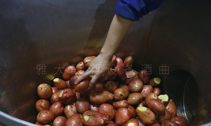 将干净的土豆倒入雅大小型酿白酒设备 中