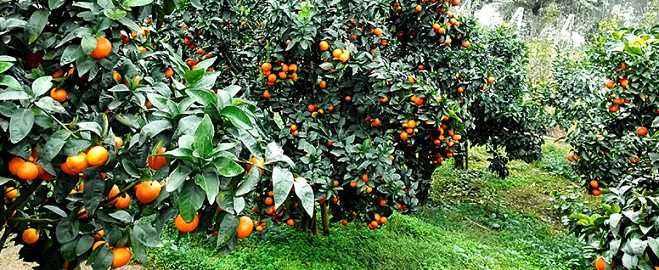 3.13砂糖桔花期已到,可头一年的果子还在树上