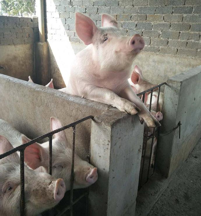 4.6酒糟养猪