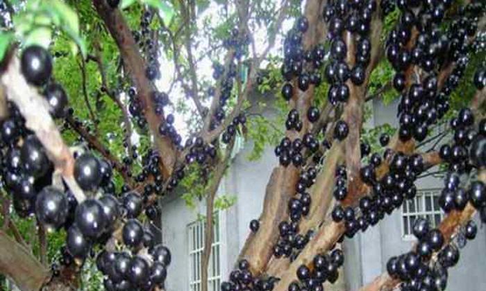 10.6树葡萄