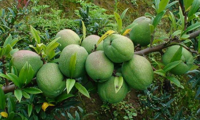 10.16光皮木瓜