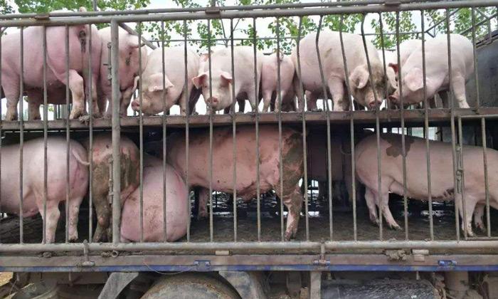 6.30全国各地跑猪肉生意