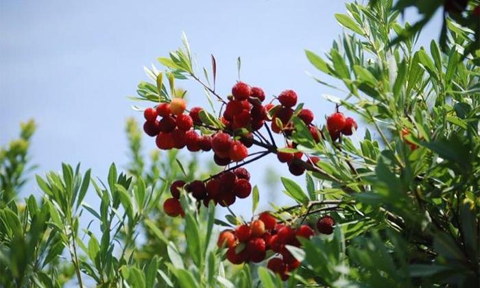 7.22流泽杨梅种植基地