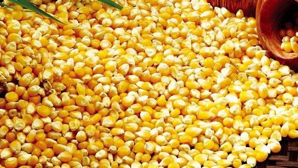 6.5玉米的选择