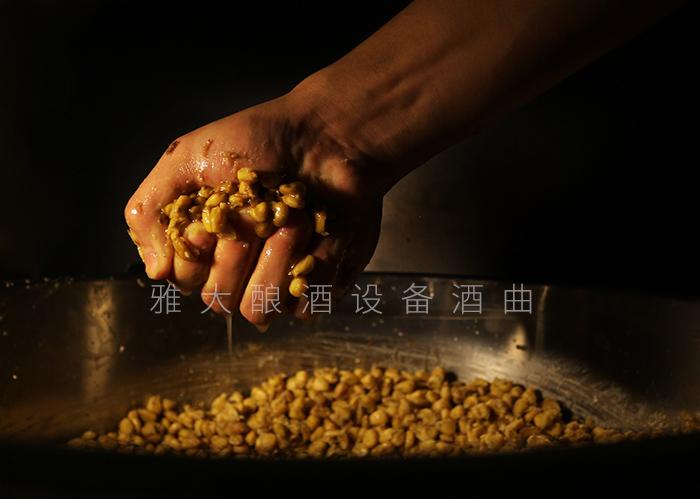 6.5玉米酿酒技术—发酵好的玉米酒