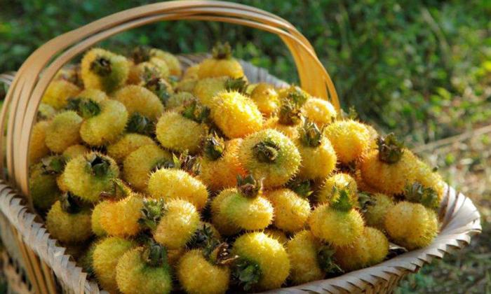 12.15成熟的刺梨