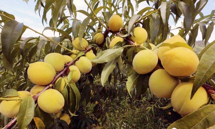 10.28黄桃滞销,长在树上无人问津