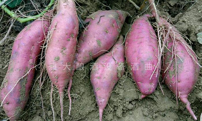 10.13刚刚采挖的紫薯