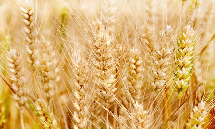 9.4古老的小麦配糟固态工艺-小麦