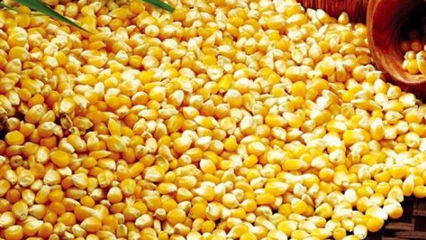 4.14玉米的选择