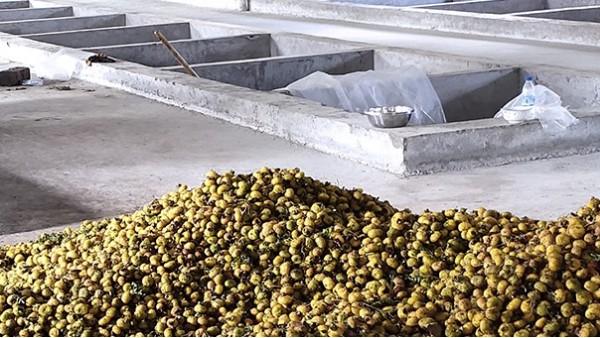 几千亩刺梨急需发酵怎么办?雅大大型酿酒设备技术总监上门指导