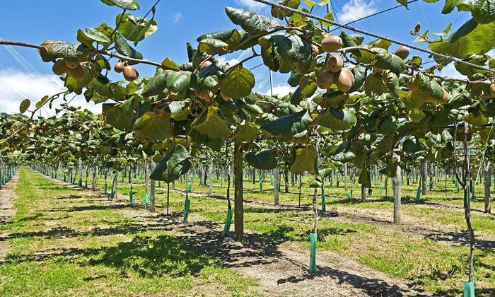 11.5杨总种植的猕猴桃