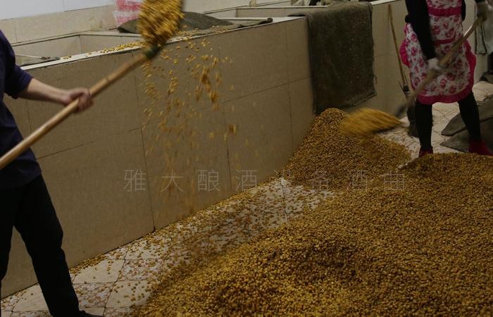 3.9春季固态酿酒-玉米入窖